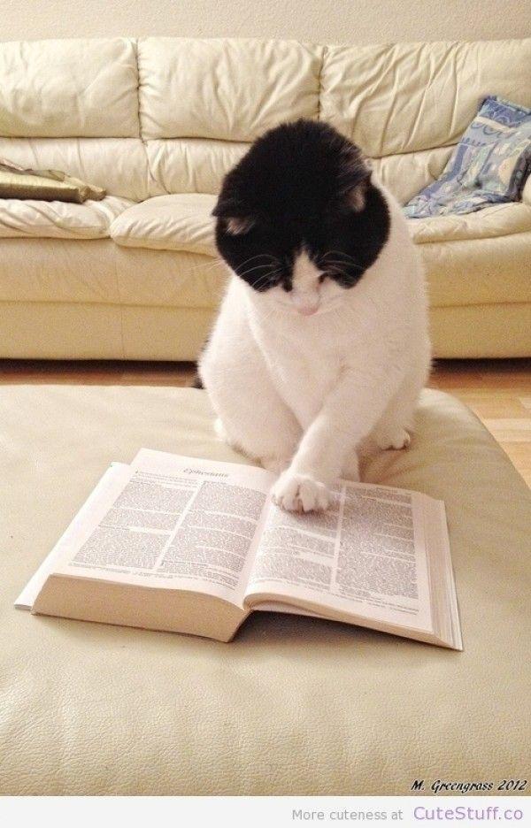 The cat who reads ahead   Filhotes de gatos, Amor de gato, Gata linda