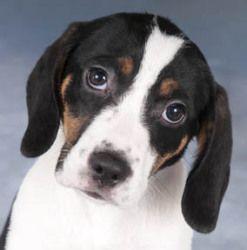 Adopt Sunny On Adoptable Beagle Beagle Dog Sleeping Puppies