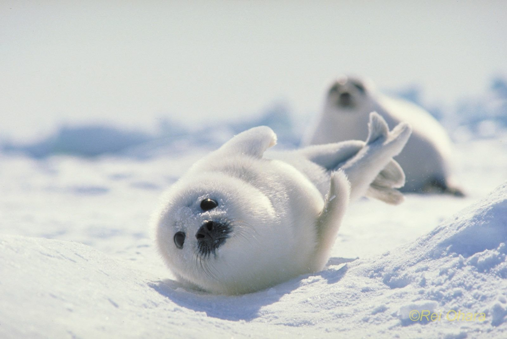 Japan Hokkaido Harp Seal Animal Seal Harp Seal Wallpaper Harp Seal Cute Animals Animals Beautiful