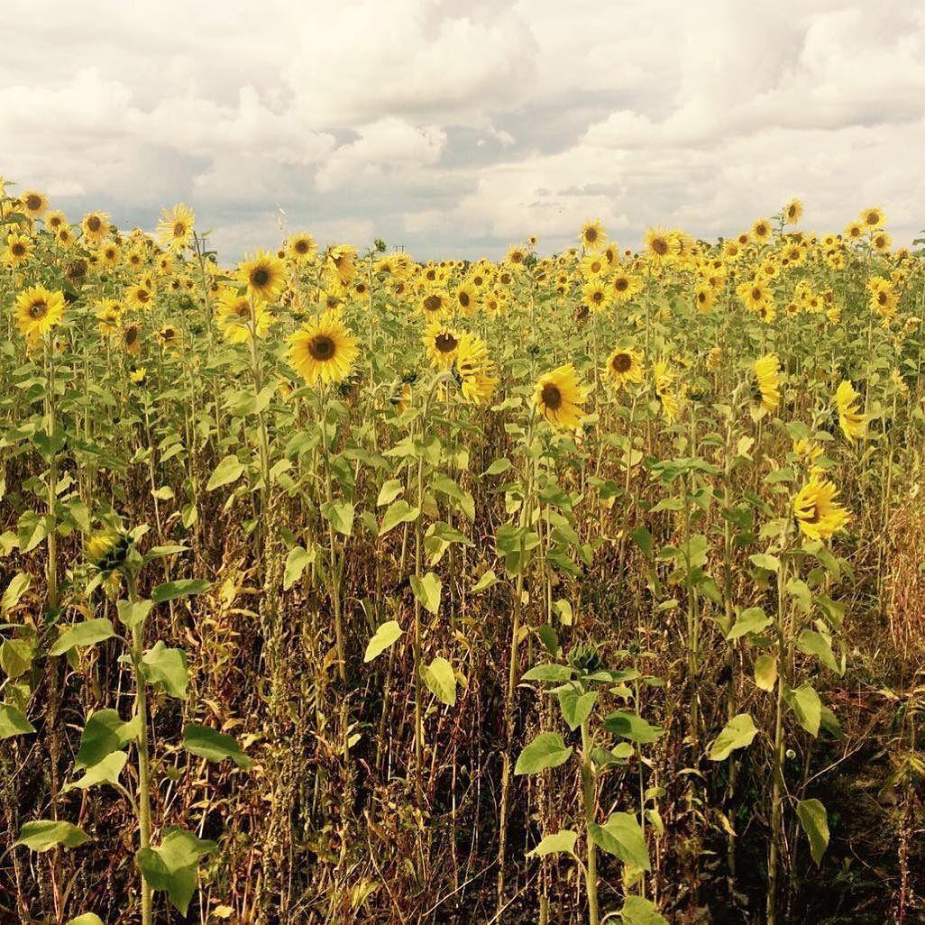Sunflowers In Bloom Uk Countryside Flowers September