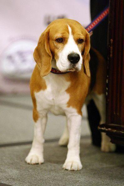 Beagle Friendly And Curious Westminster Dog Show Dog Show