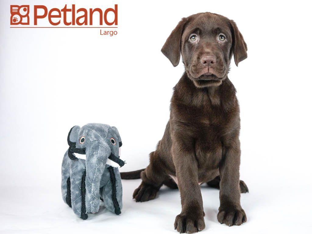 Petland Florida Has Labrador Retriever Puppies For Sale Check Out
