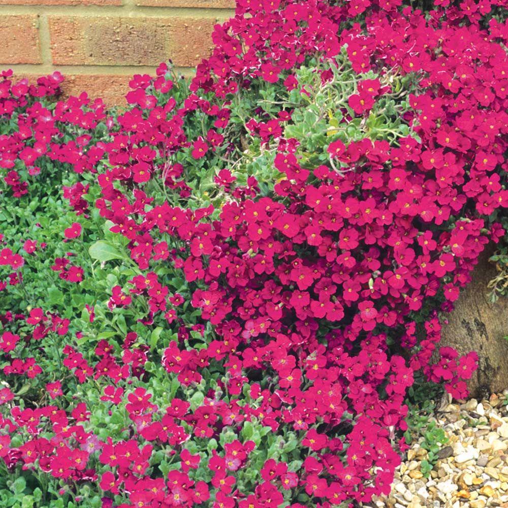 Rock Cress 100 Seeds Hardy Perennial Aubrieta /'Red Cascade/'