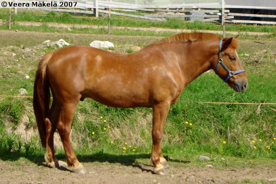 Finnhorse - gelding Tuli-Suiver
