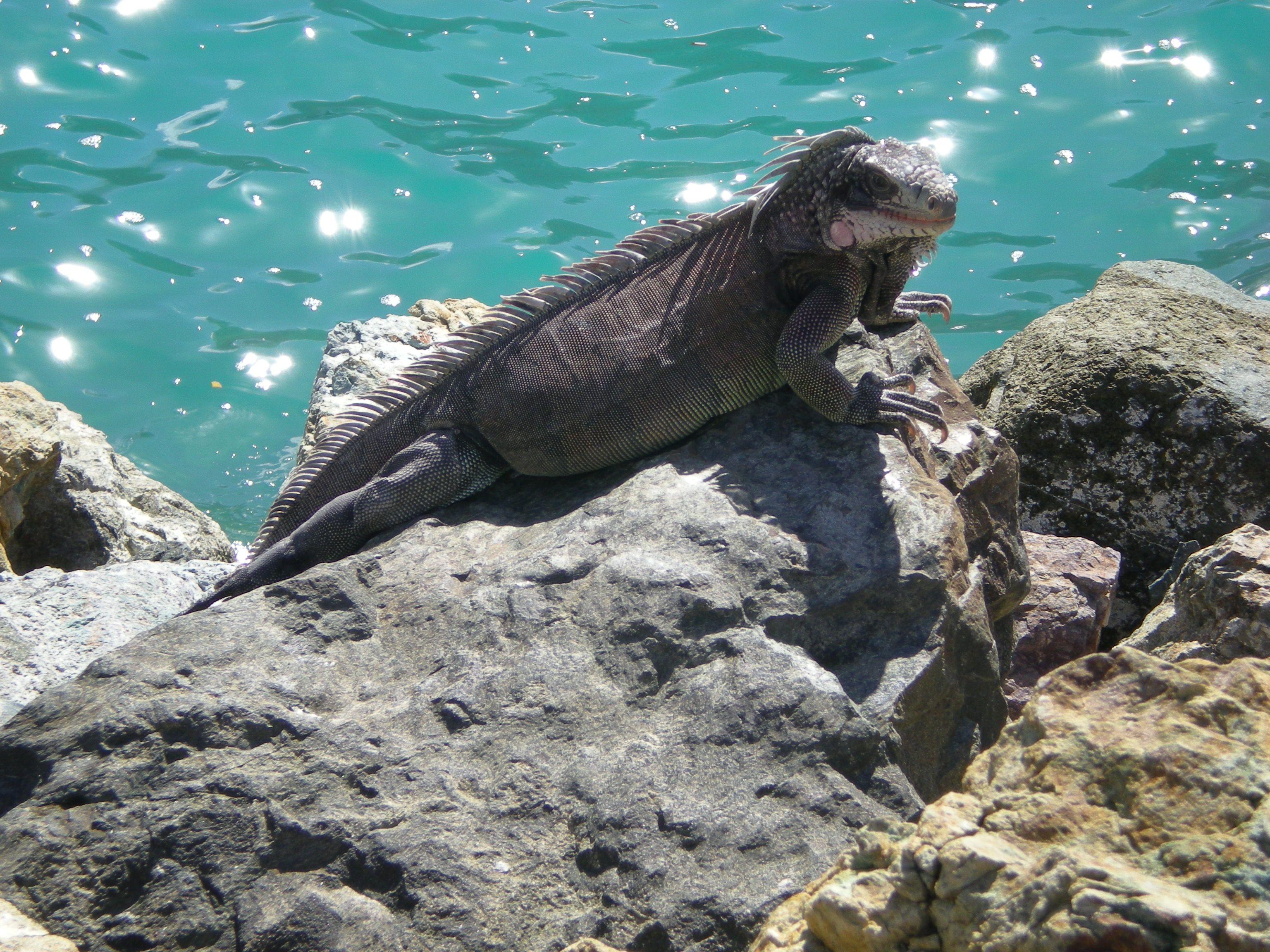 St. Thomas Iguana