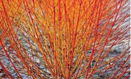 17 Best images about Autumn Winter Garden Interest – Plants for Winter Garden