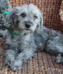 Adopt Smokie On Poodle Mix Dogs Schnauzer Dogs Pet Search