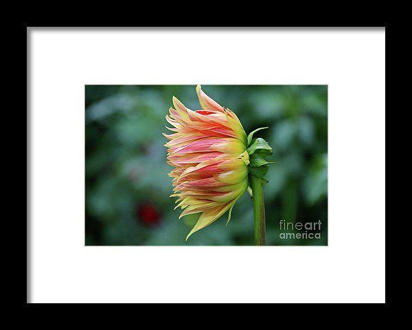 dahlia, orange, flower, bloom, blossom, nature, garden, michiale, schneider, photography