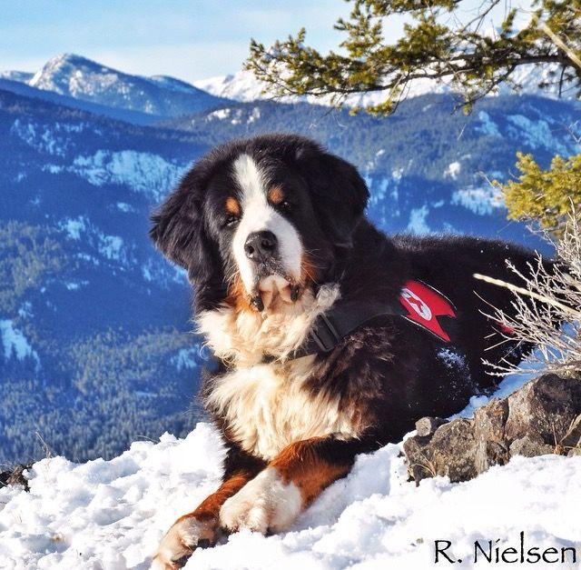 Rescue Berner 3 Bernese Mountain Dog