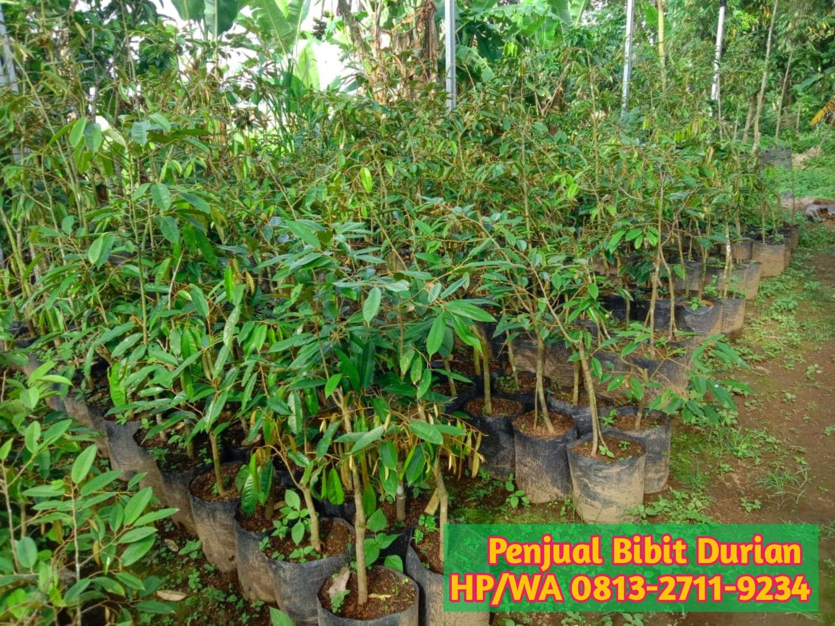 Pin Di 0813 2711 9234 Paling Dicari Jual Bibit Durian