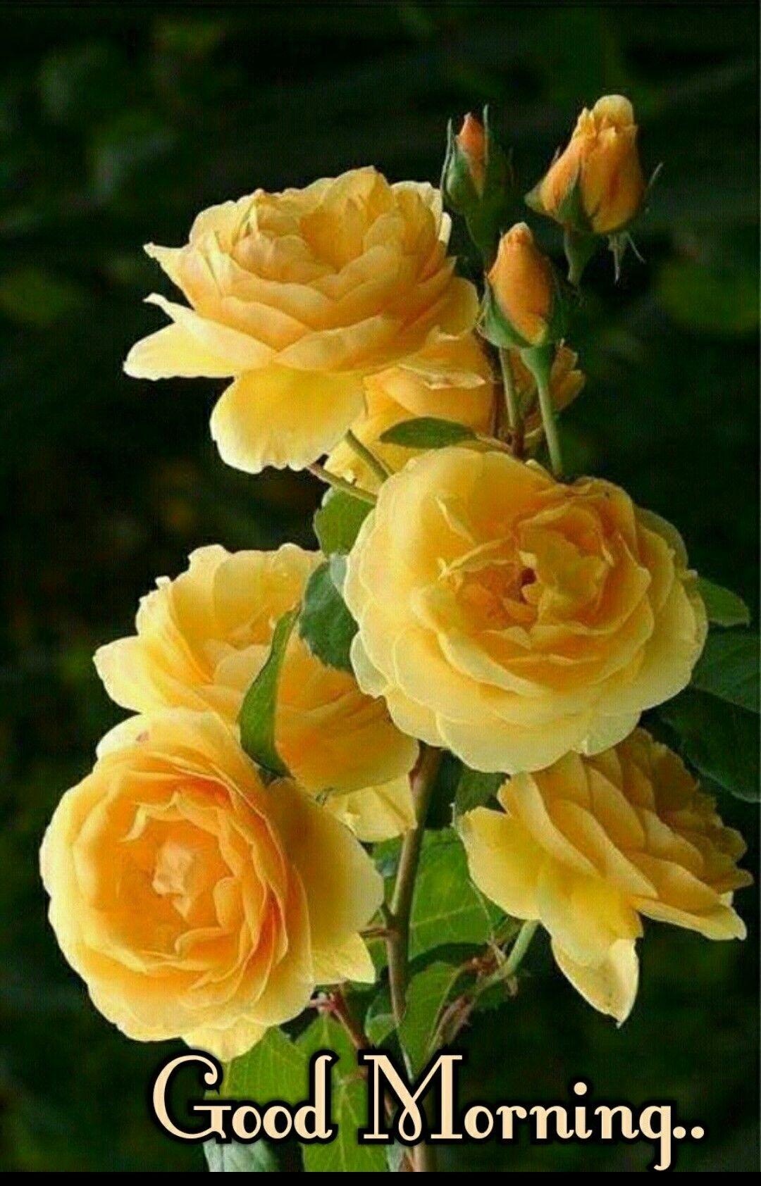 Good Morning Images With Yellow Rose Flowers Djiwallpaper