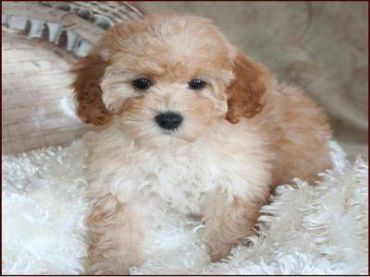 Shar Poo Puppies Poodle Puppies For Sale Poodle Puppy