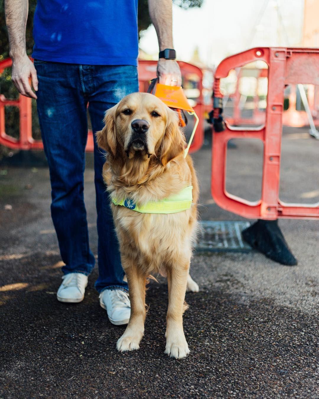 Guide Dogs Uk On Instagram Bobby Golden Retriever Guide Dog In Training Bobby Is A Cal Guide Dog Golden Retriever Puppy