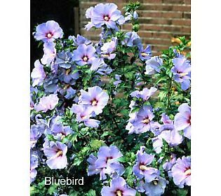 Bluebird Rose of Sharon Hibiscus $28.60