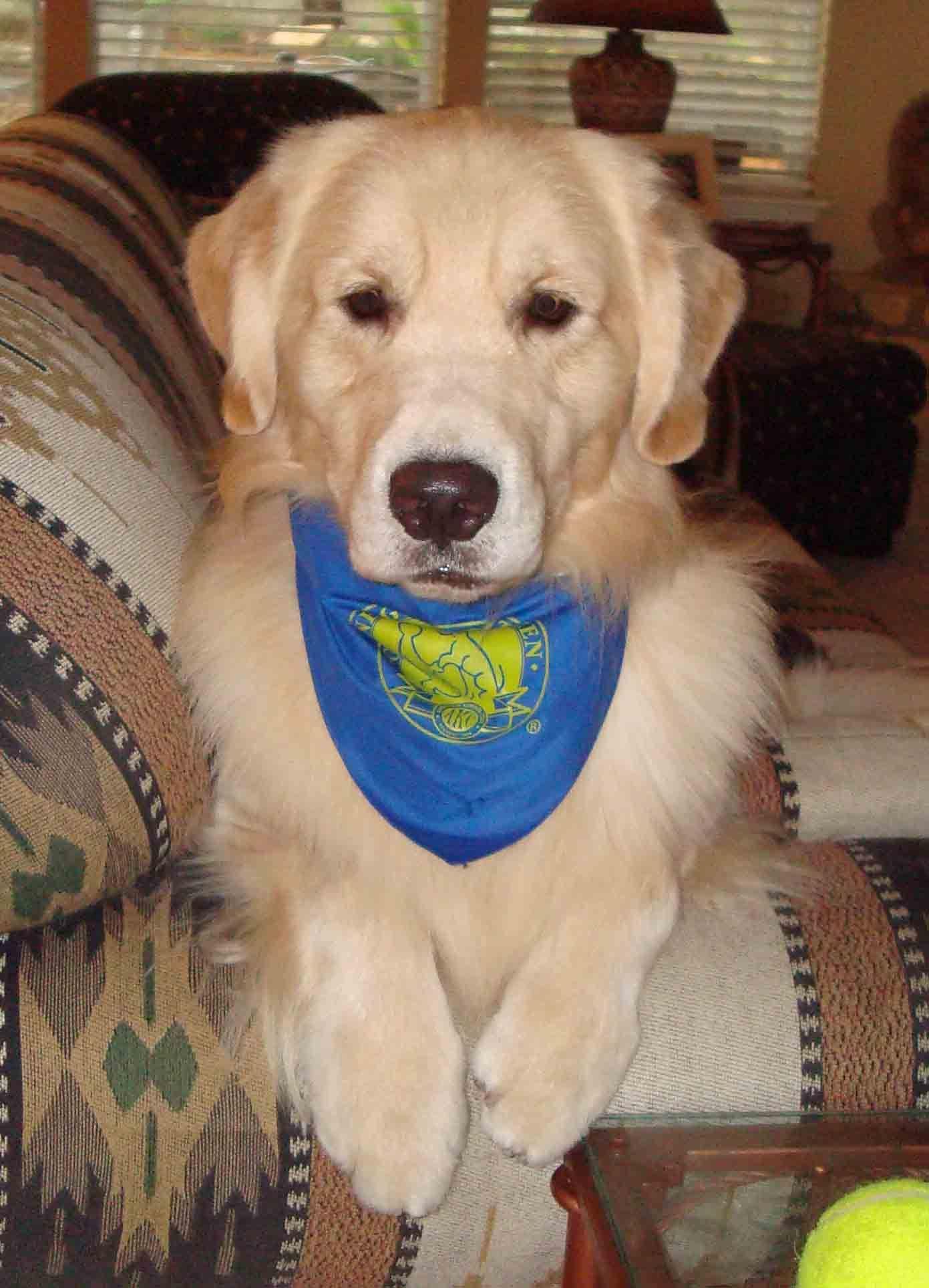 Canine good citizen cute animals golden retriever pets