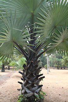 borassus aethiopum