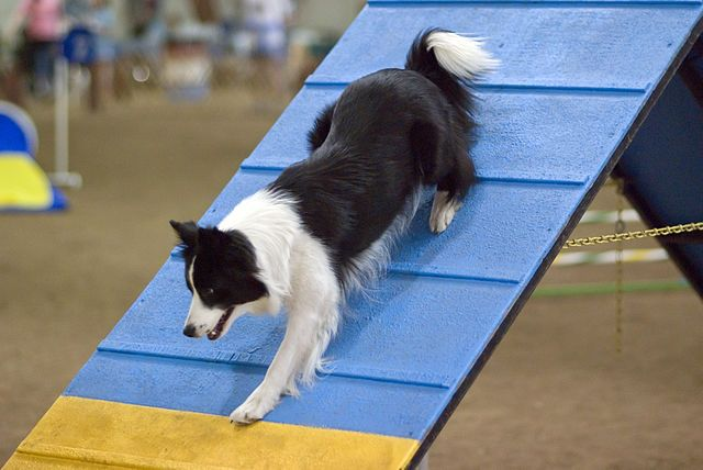 Dog Agility Competitions Are Rapidly Growing In Popularity