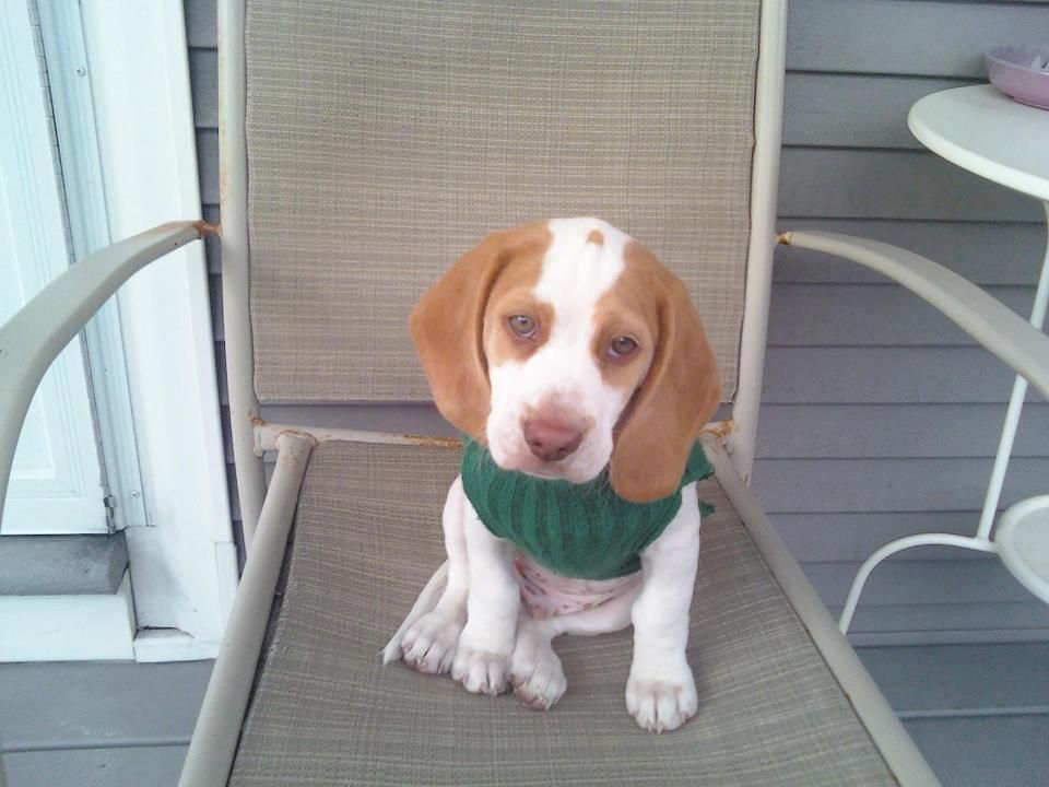 Puppy Maymo I Love This Dog Lemon Beagle Beagle Cute Animals