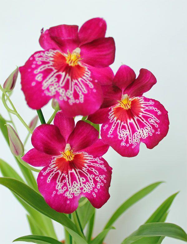 miltonia bluehende miltonia orchidee orchi pinterest. Black Bedroom Furniture Sets. Home Design Ideas