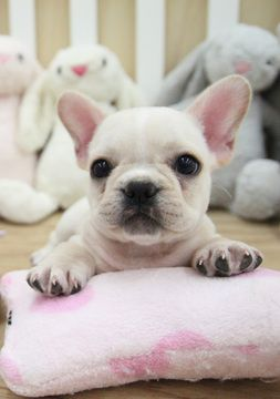French Bulldog Puppy For Sale In San Jose Ca Adn 51926 On