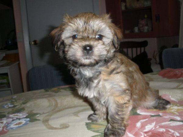 Havanese Puppy Sally 7 Wks Havanese Puppies Puppies Puppy Pictures