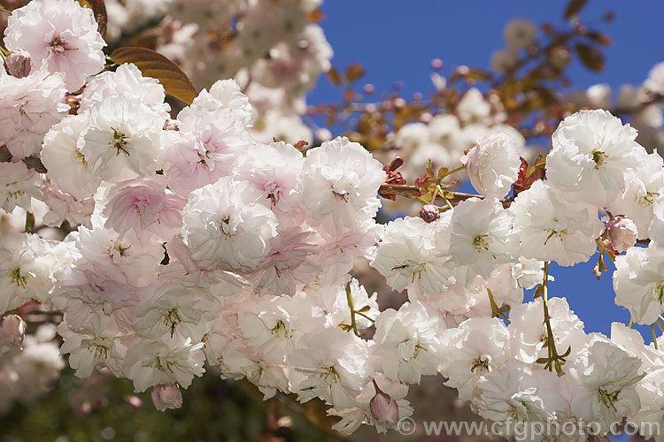 Prunus Serrulata Shirofugen Photo Prunus Serrulata Prunus Photo