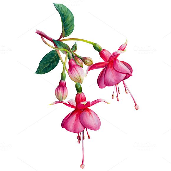 Fuchsia Watercolor Flower Watercolor Flowers Watercolor Flowers Paintings Flower Drawing