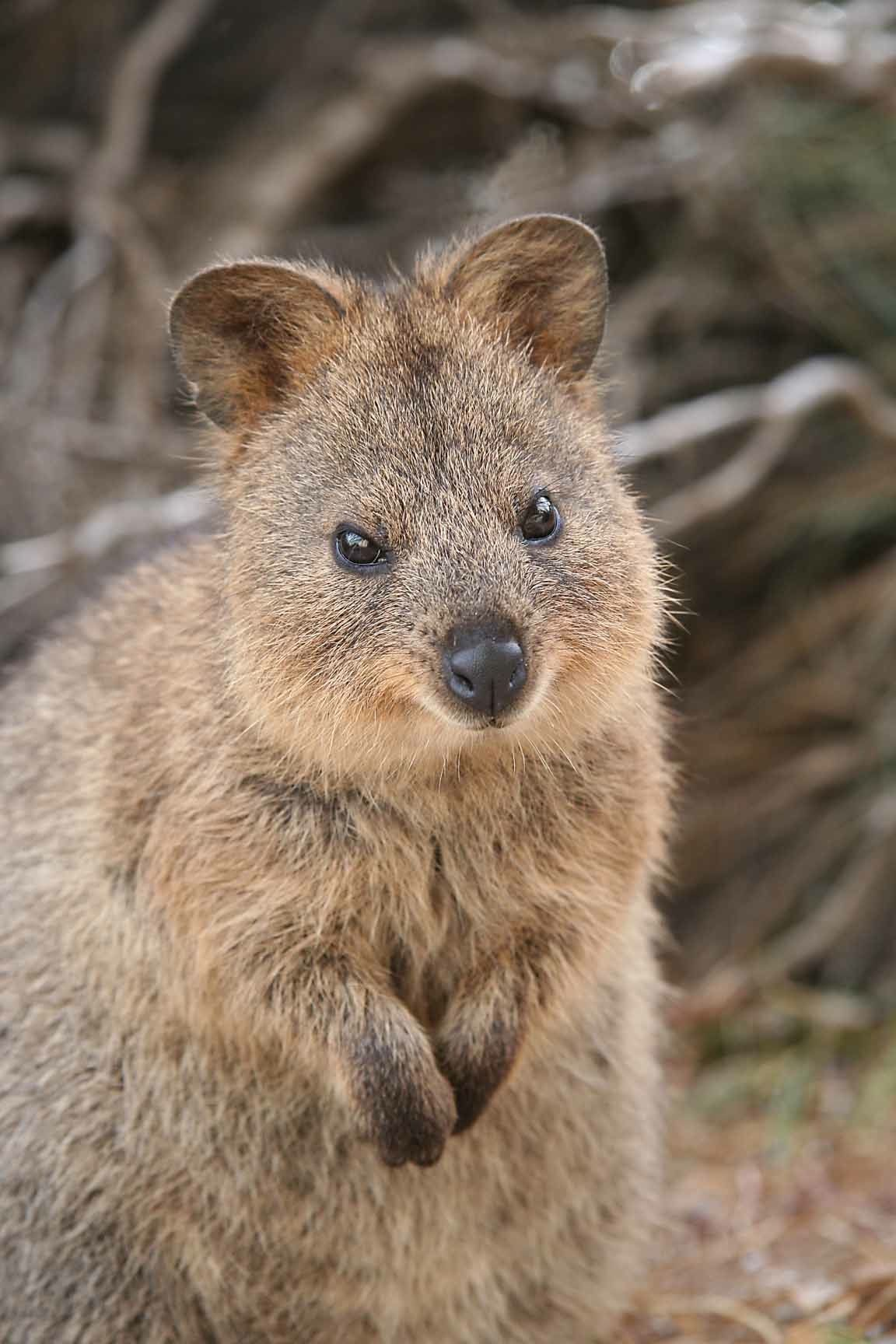 Quokka at Rottnest 2 Australian animals, Australia
