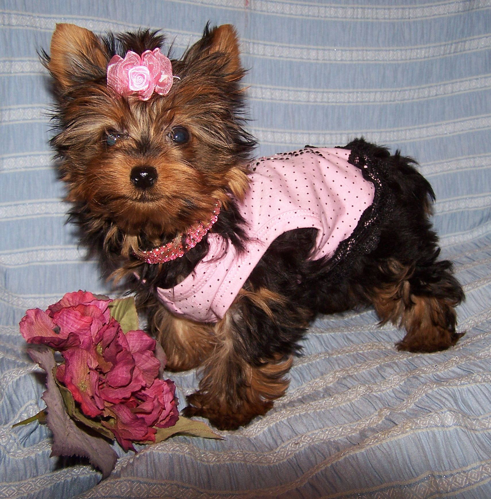 Picture Puppie Baby Girl | Yorkie Baby Girl Puppies For ...