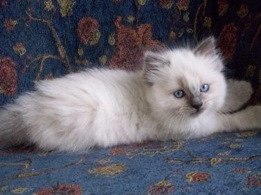 Silverpoint Ragdoll Blue Eyed Ragdoll Kitten This Is What My Little Oliver Looked Like As Ragdoll Kitten Beautiful Cats Cute Cats