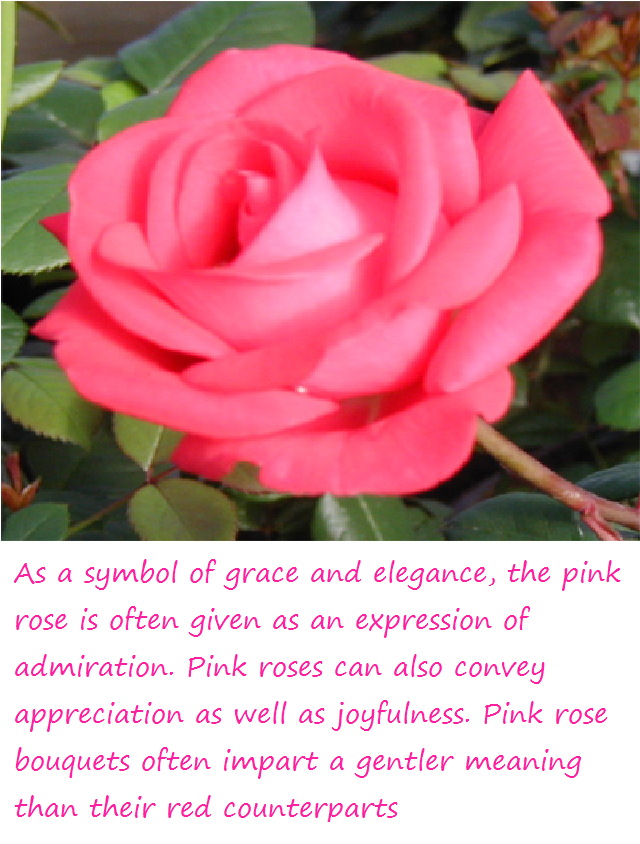 Pink Rose Meaning By Kawaii Panda Aru524