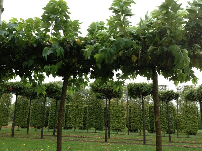 Semi mature tree suppliers