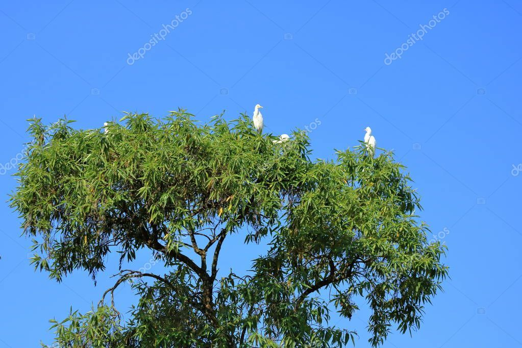 Closed up shore bird birds in an tree, Intermediate egret (Area intermedia), Nep , #SPONSORED, #birds, #tree, #bird, #Closed #AD