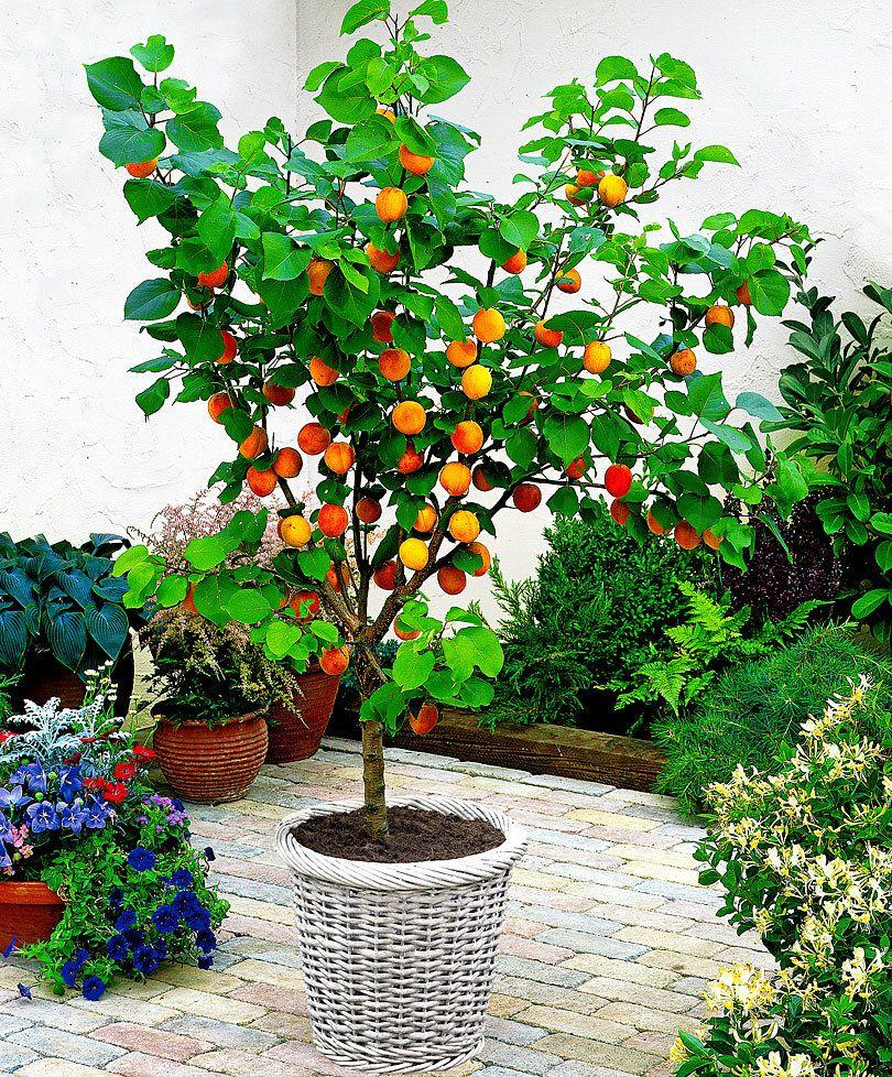 Dwarf Apricot Tree Alberi In Vaso Alberi Da Frutto Nani