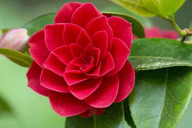 Camellia Japonica Is The Predominant Species Of The Genus And Counts Over 30 000 Cultivars In A Wide Array Of Flower Forms And In 2020 Camellia Flower Flowers Camellia