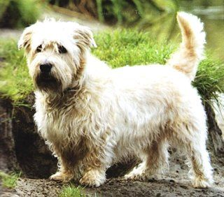 Glen of imaal terrier grooming google search glen of imaal glen of imaal terrier grooming google search altavistaventures Image collections