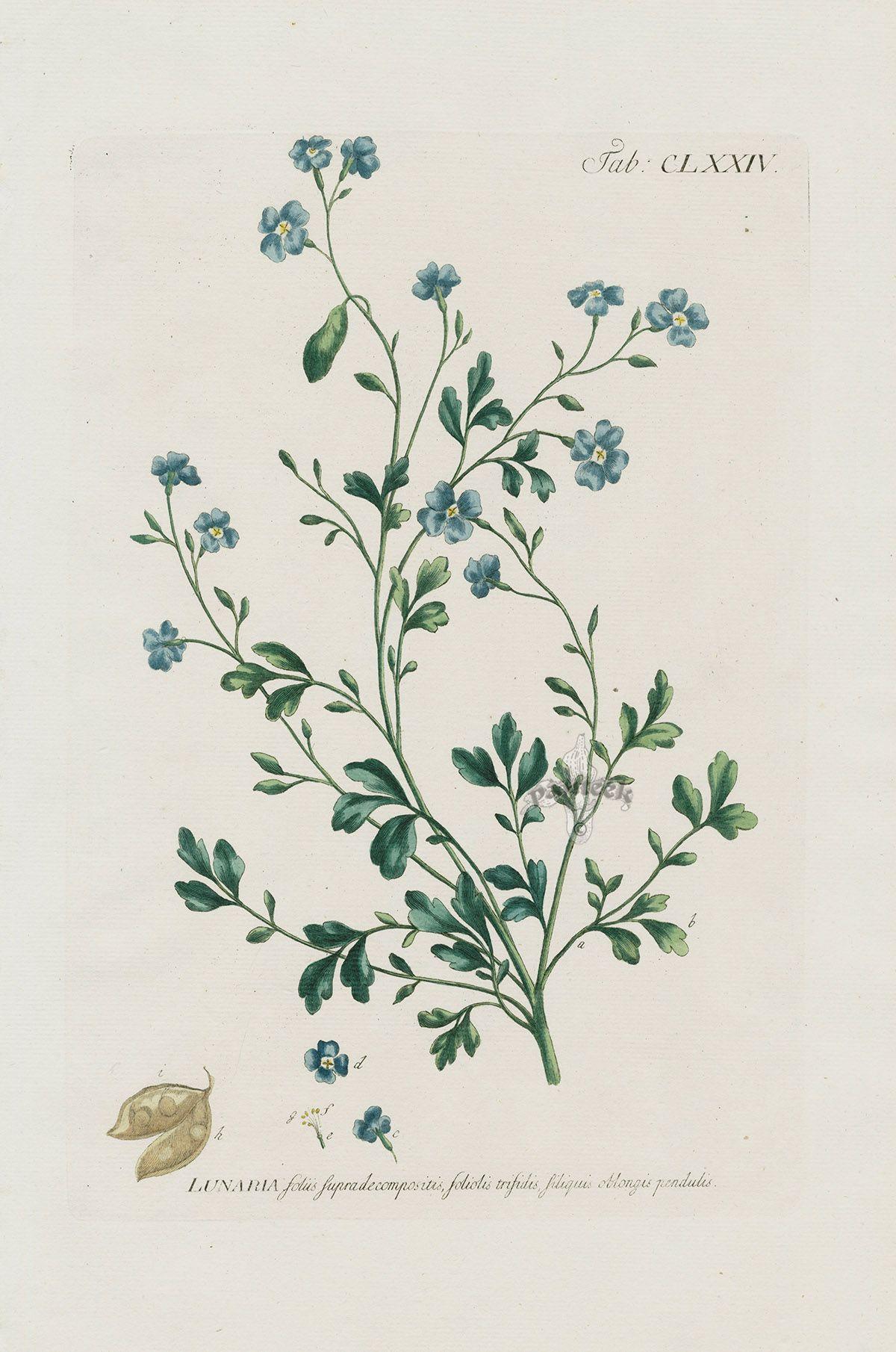 Photo of Lunaria foliis supradecompositis, foliolis trifidis, siliquis oblongis pendulis from 1768 Philip Miller Most Beautiful Plants in Gardens Dictionary