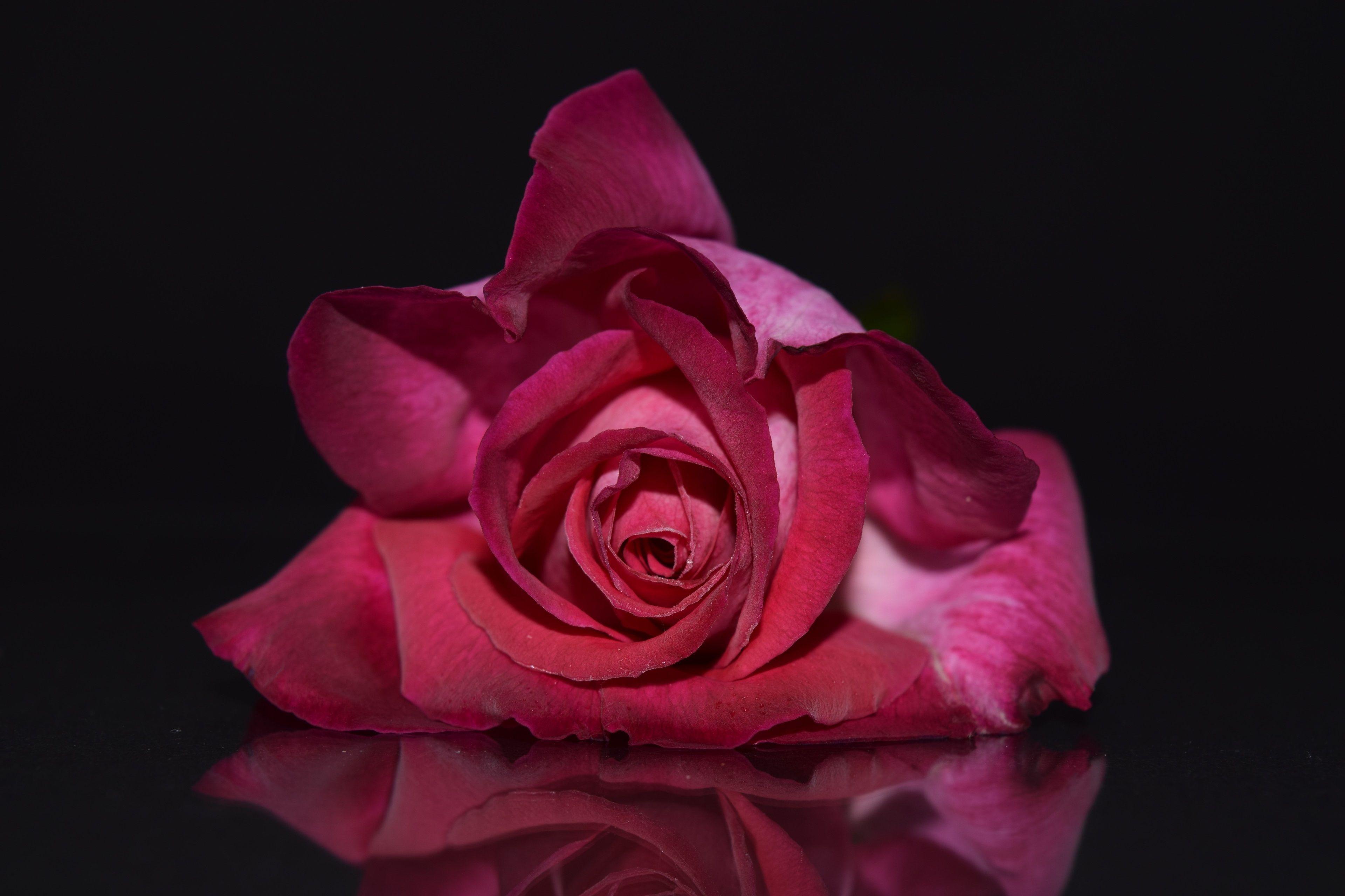 3840x2560 red rose 4k high quality wallpaper Розы