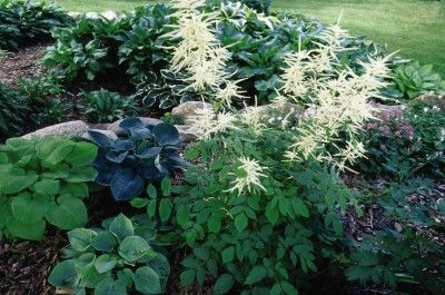 Goatsbeard A Tall Perennial For The Shade Or Partial Shade Garden