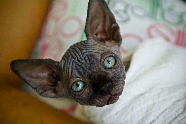 Master Yoda Sphynx Cat Baby Cats Sphynx