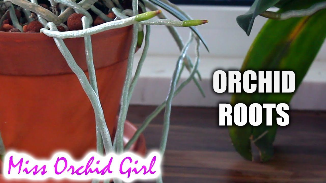 Orchid roots purpose features and debunking myths orchids