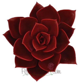 Ruby Red Succulent Flower Red succulents Red wedding flowers Succulents