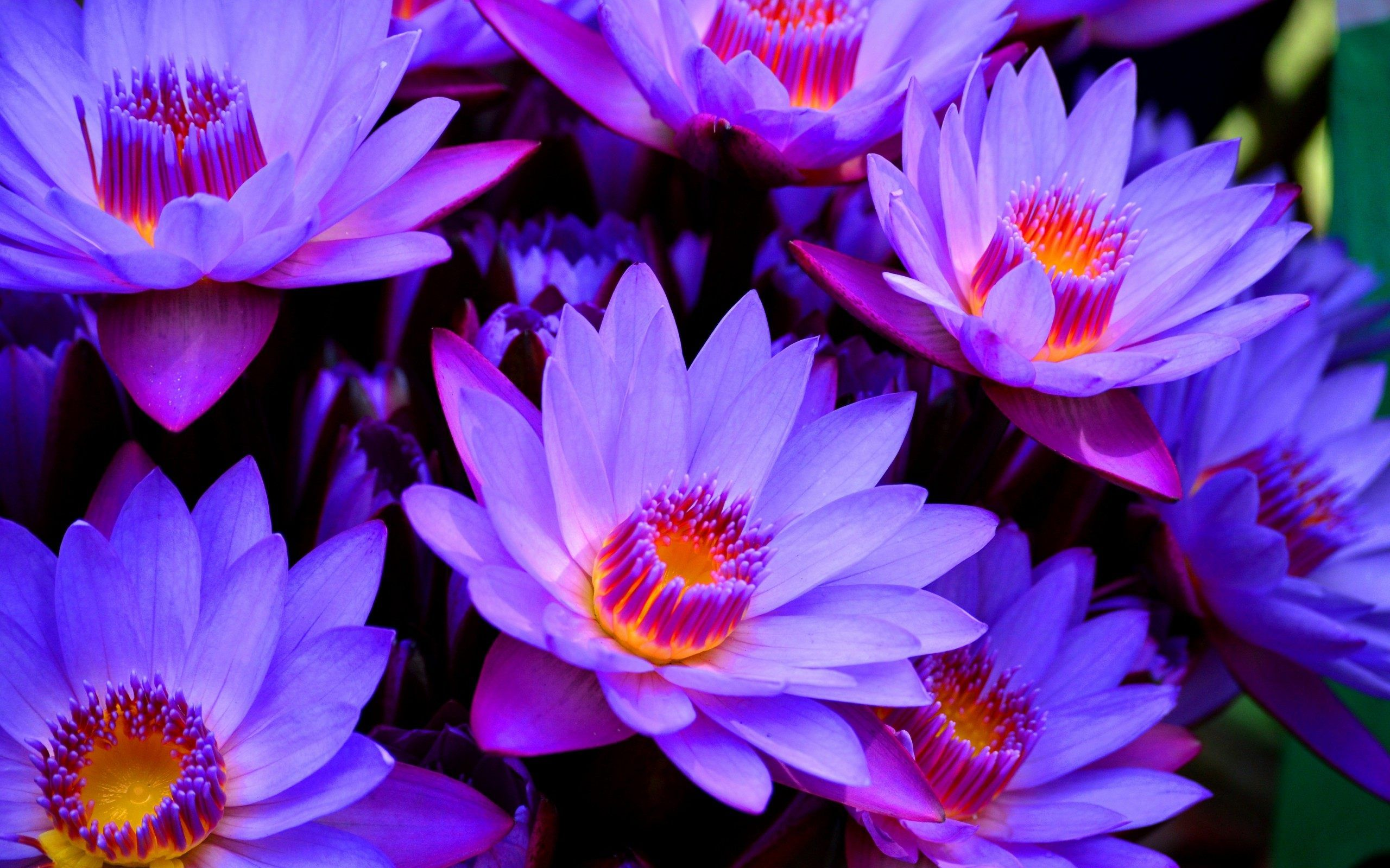 Purple Lotus Flower Wallpaper Picture With High Definition Wallpaper