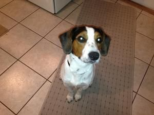 Adopt Jax On Adoptable Beagle Beagle Dog Beagle Hound