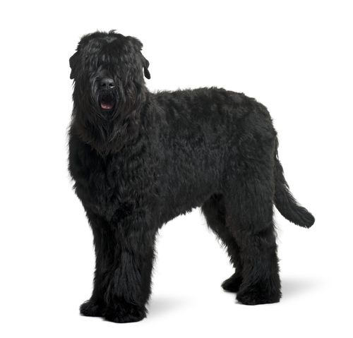 Black Russian Terrier Grooming Bathing And Care Black Russian