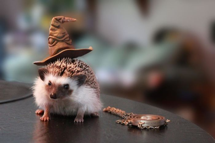 Cute Hedgehogs In Hats Cute Hedgehog Hedgehog Pet Cute Baby Animals