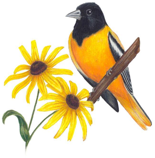Maryland State Bird Maryland State Bird And Flower State Birds