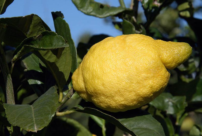 Lemon Tree Seeds Amalfi Coast Sfusato Amalfitano Italian Origin 10