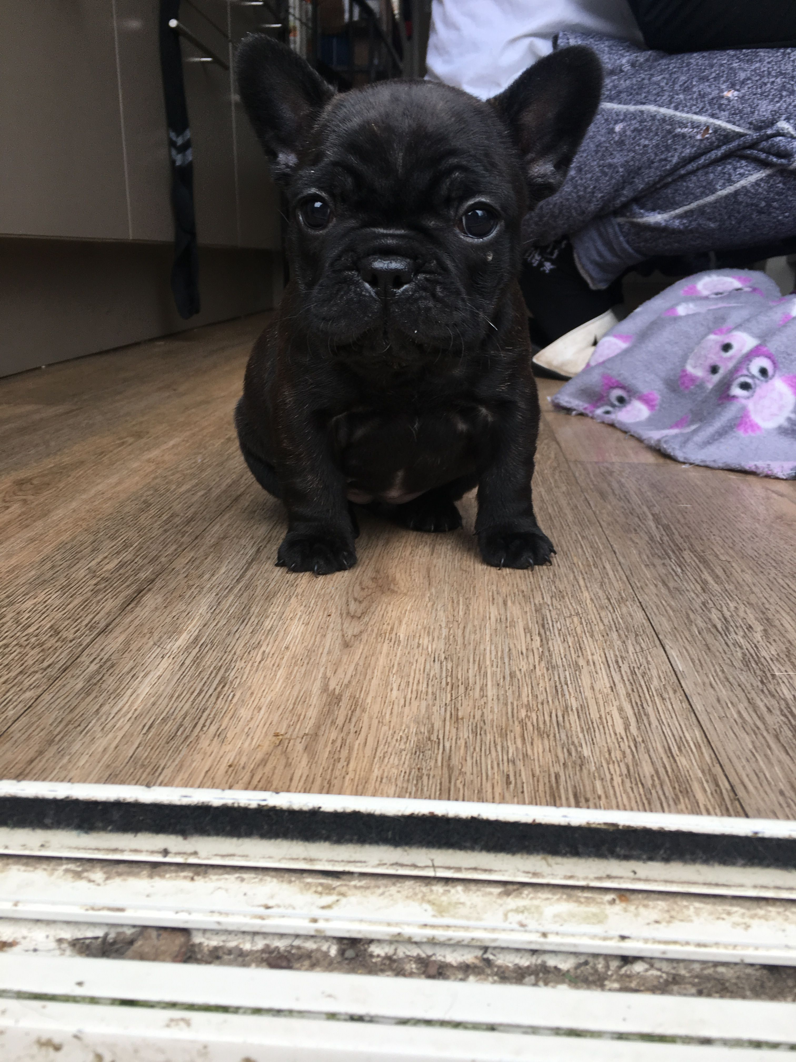 Stunning Black French Bulldog Puppy She Is All The Way From Nz Bulldog French Bulldog Bulldog Puppies