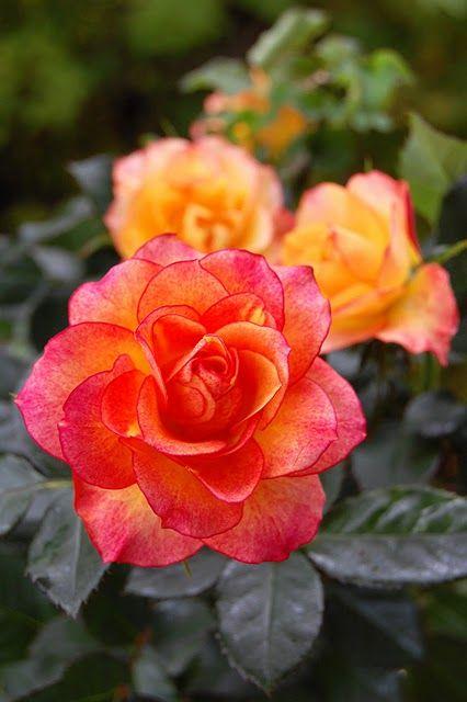 Pink Orange Roses Hybrid Tea Roses Rose Seeds Rose Flower